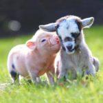 Совместимость знаков Свиньи и Козы