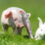 Совместимость знаков Свинья и Кролик