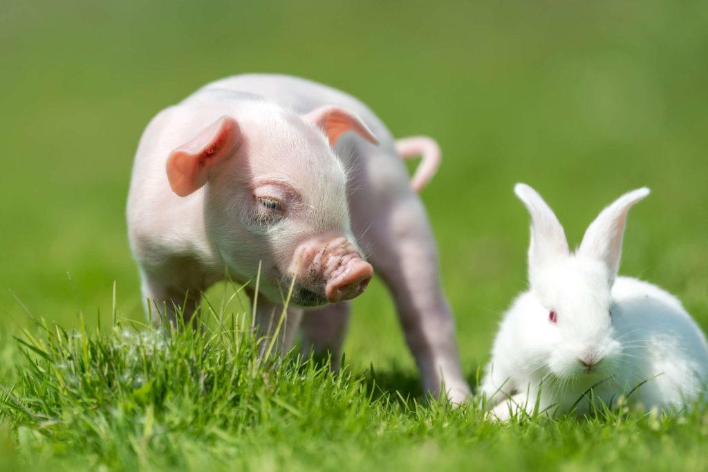 Свинья и кролик